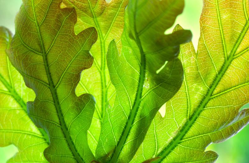 Oak Leaves 872