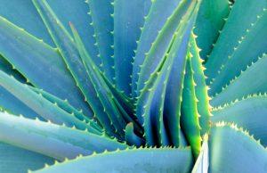 Aloe Vera 1157