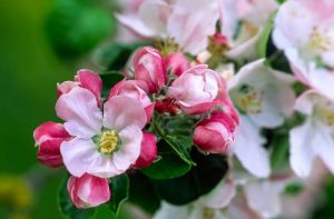 Apple Blossom 1218