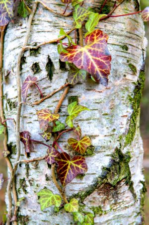 Silver Birch and Ivy 1525