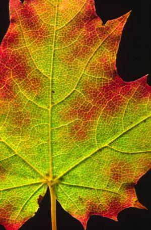 Leaf 1546