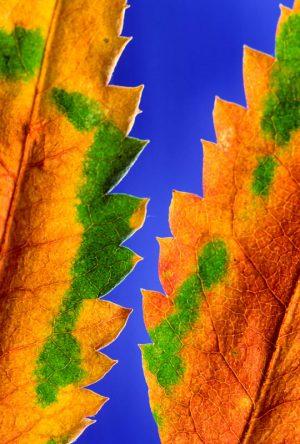 Leaf 1550