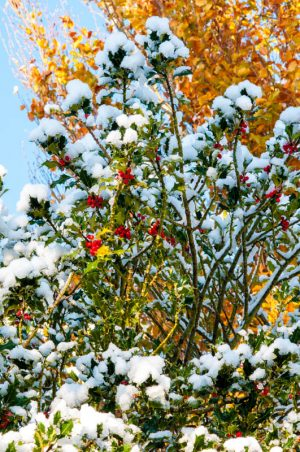 Holly and Snow 1658