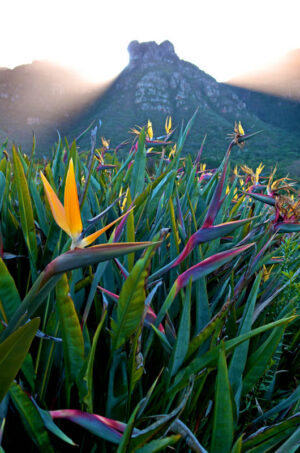 Strelitzia and Table Mountain