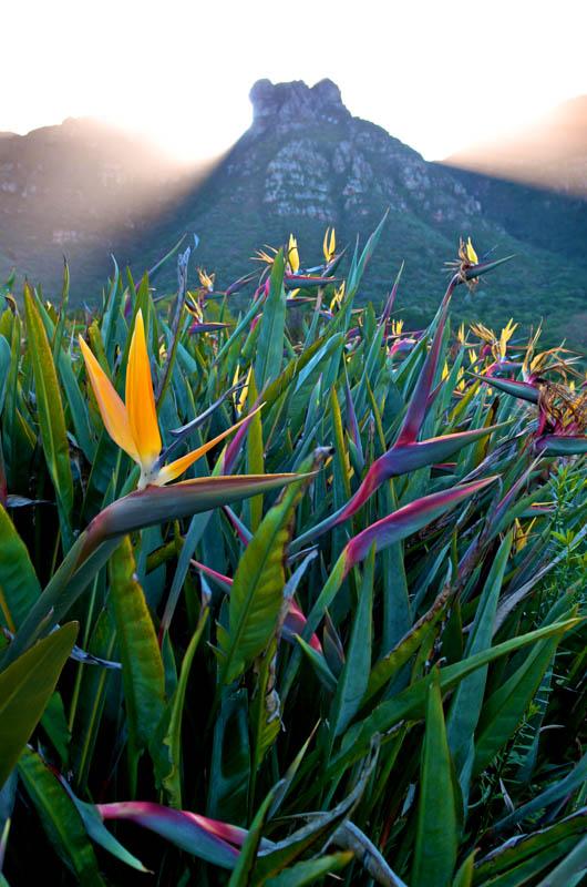 Strelitzia and Table Mountain
