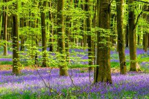 Bluebell Wood 1939
