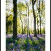 Bluebell Wood 1953