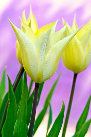 Tulip 2192 Greetings Card