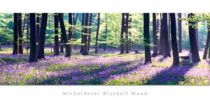 Micheldever Bluebell Wood