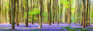 Bluebell Wood Panoramic