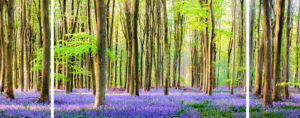 Bluebell Wood Triptych