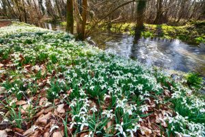 Snowdrops Welford Park 2870 Greetings Card