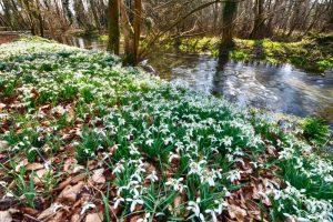 Snowdrops Welford Park 2870 Greetings Card