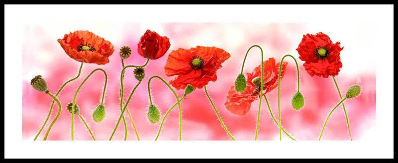Poppies 2945PAN