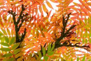 Rowan Tree leaves 2981