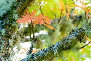 Rowan Tree leaves 2982