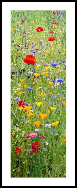 Wild Flower Meadow Wisley