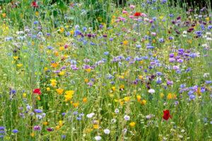 Wisley Wild Flower Meadow