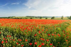 Poppy Field, Cotswolds