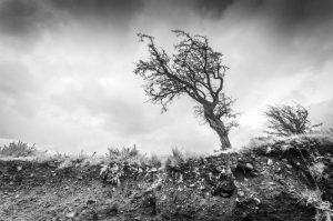 Windswept tree 4060