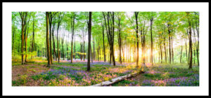 Micheldever Bluebell Wood Panoramic