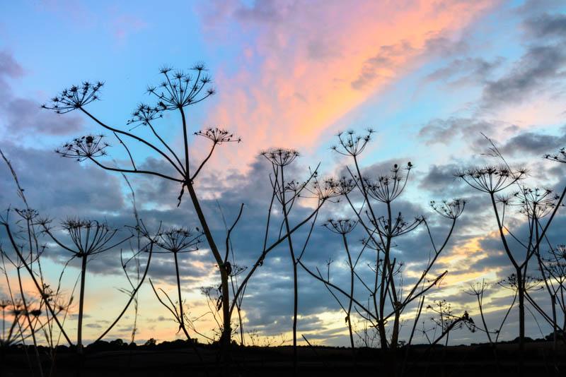 Hogweed and sunset