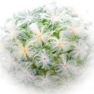 Cactus 4352