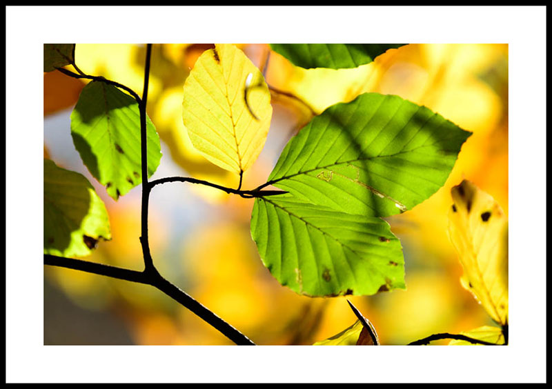 Beech Leaves 4443 on paper