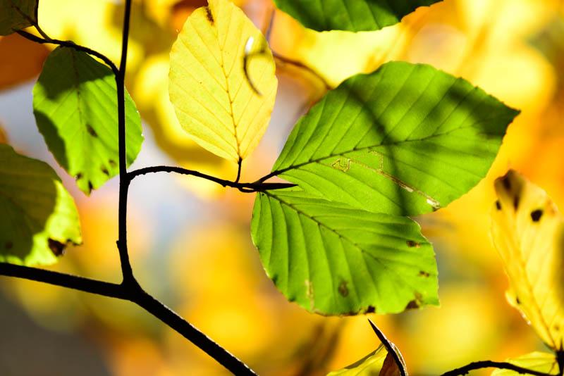 Beech Leaves 4443