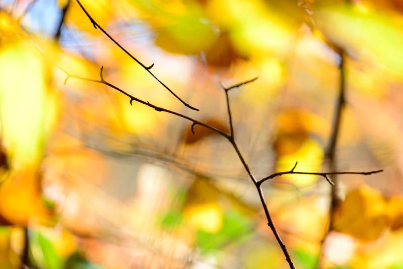 Beech Leaves 4444