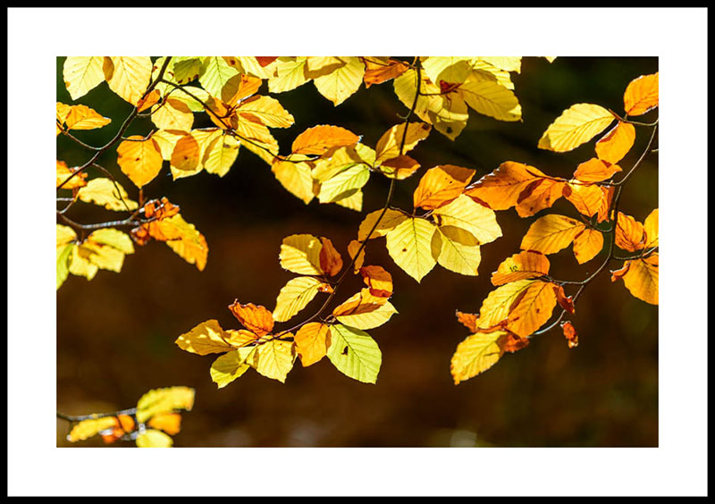 Beech Leaves 4446 on paper