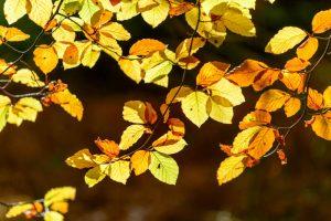 Beech Leaves 4446