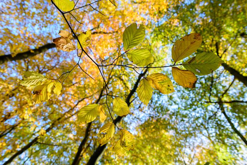 Beech Leaves 4458