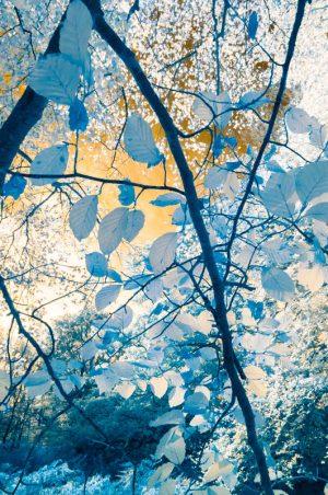 Beech Leaves infra red 4494