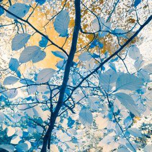 Beech Leaves infra red 4494SQ