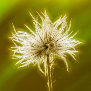 Pasque Flower Seed head