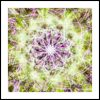 Allium Star of Persia