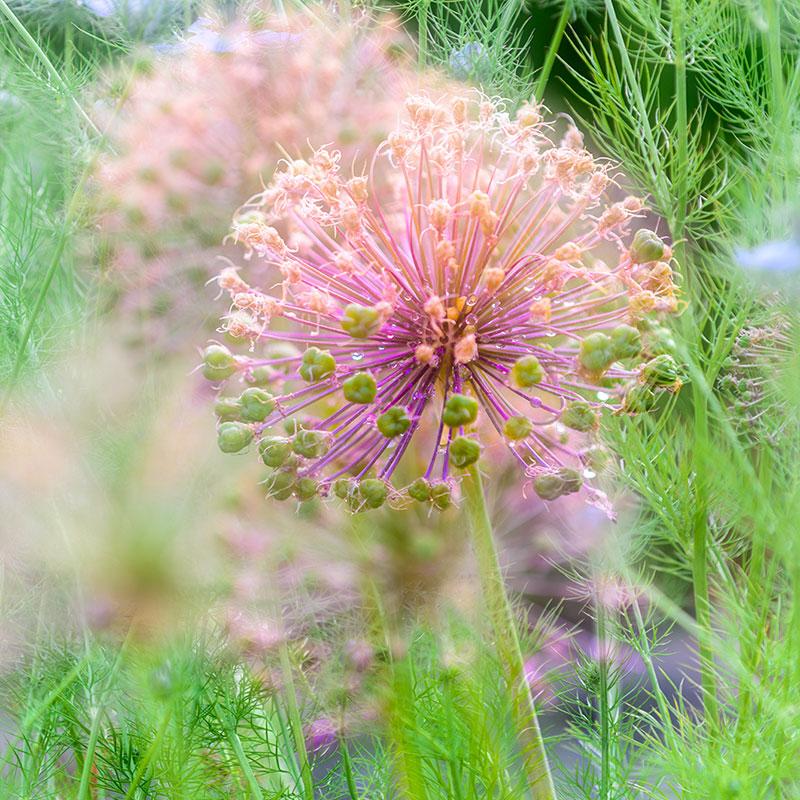 Allium greetings card 4637