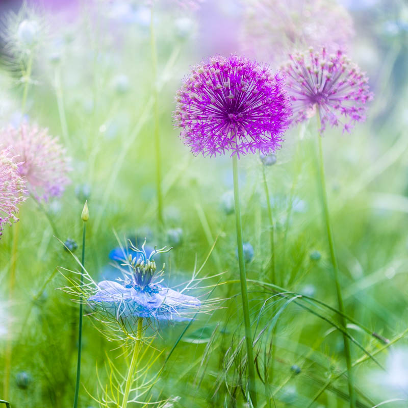 Allium and Love in a mist Square Greetings Card 4639