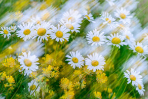 Daisies and Kidney Vetch