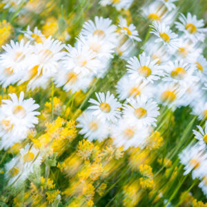 Daises and Kidney Vetch