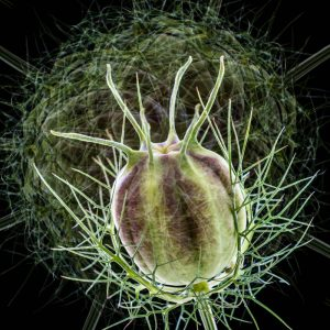 Love in a Mist Seed head
