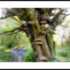 Bluebell Wood and ancient oak tree
