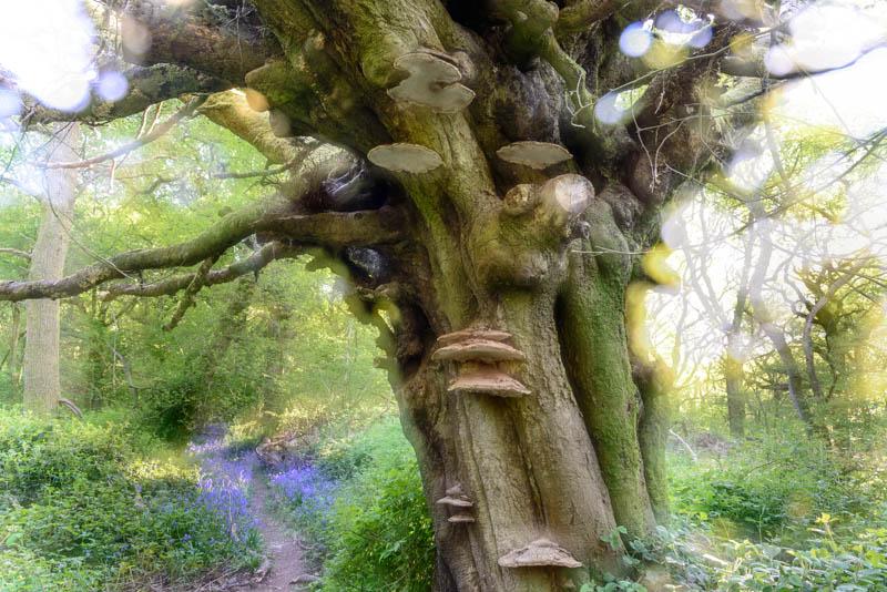 Bluebell Wood Oak tree