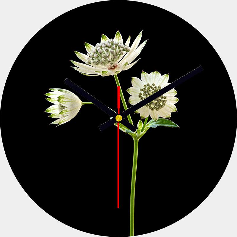 Astrantia Clock