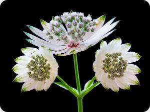 Astrantia Worktop saver