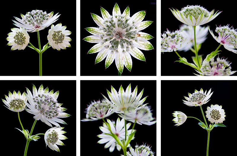 Astrantia Coasters set of six