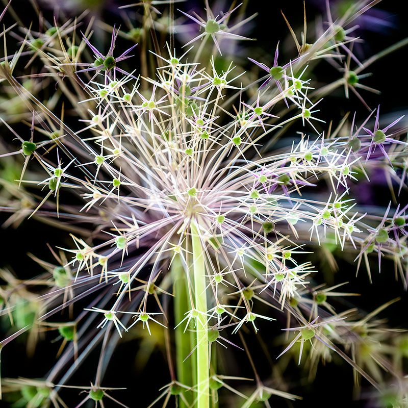 Star of Persia Allium