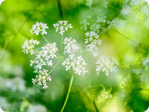 Cow Parsley Worktop saver