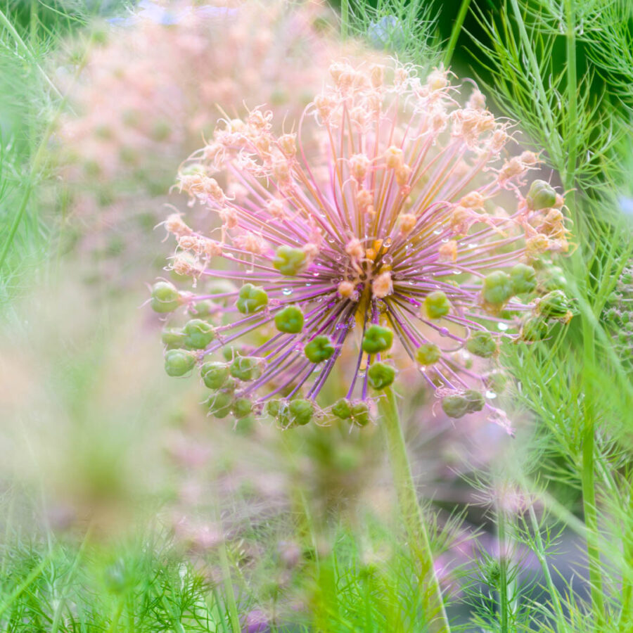 Allium flower photograph